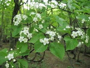 アズキナシ花